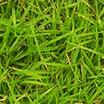Aromatic Verde