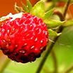Chypre Fruitat